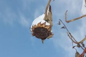 Snow on a Sunflower